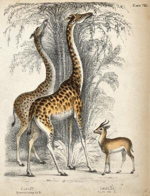 view Two giraffes eating from the crown of trees with a gazelle standing nearby. Coloured chalk lithograph.