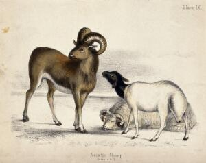 view Three Asiatic Sheep. Coloured chalk lithograph.