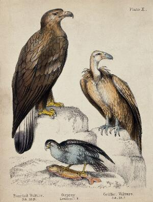 view Left, a Bearded Vulture, middle, an Osprey, right, a Griffon Vulture. Coloured chalk lithograph.