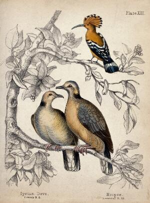 view Above, a Hoopoe; below, two Syrian Doves. Coloured chalk lithograph.