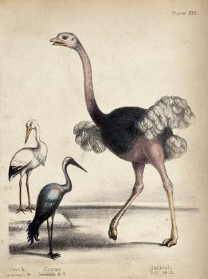 view A stork, a crane and an ostrich. Coloured chalk lithograph.