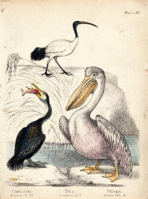 view A cormorant, an ibis and a pelican standing near the water. Coloured chalk lithograph.