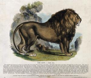 view A lion standing in a rocky landscape. Coloured wood engraving by J. W. Whimper.
