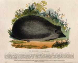 view A hedgehog sitting in a meadow. Coloured wood engraving by J. W. Whimper.