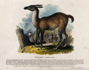 view A llama standing on a rock. Coloured wood engraving by J. W. Whimper.
