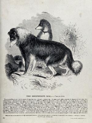 view Two shepherd's dogs standing on a hill. Wood engraving by J. W. Whimper.