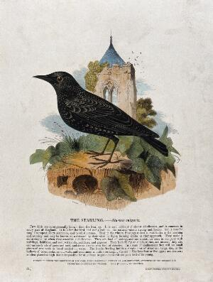 view A starling sitting on a stone in front of a church. Coloured wood engraving by J. W. Whimper.
