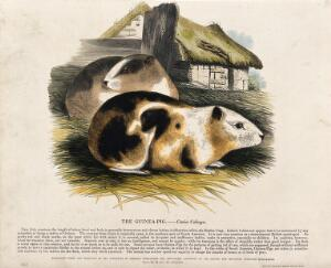view Two guinea-pigs in a farmyard. Coloured wood engraving by J. W. Whimper.