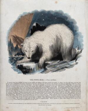 view A white bear (Polar bear) standing on an ice floe. Coloured wood engraving by J. W. Whimper.