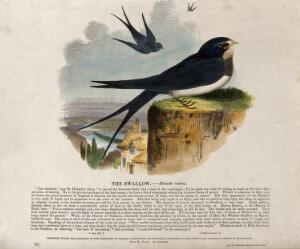 view A swallow sitting on a rock above a town with two other swallows flying in the sky above. Coloured wood engraving by J. W. Whimper.
