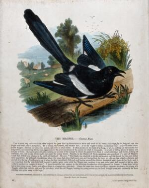 view A magpie sitting on a plank on a lake before a bucolic landscape. Coloured wood engraving by J. W. Whimper.