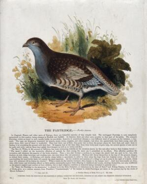 view A partridge sitting in a meadow. Coloured wood engraving by J. W. Whimper.