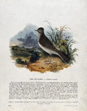 view A sky-lark sitting on a rock before a bucolic landscape. Coloured wood engraving by J. W. Whimper.
