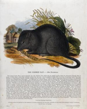 view A rat nibbling on corn outside a farmyard. Coloured wood engraving by J. W. Whimper.