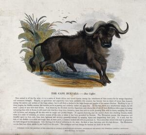 view A Cape buffalo standing in shallow water. Coloured wood engraving by J. W. Whimper.