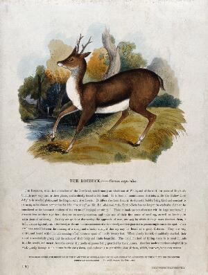 view A roebuck standing in a forest clearing. Coloured wood engraving by J. W. Whimper.