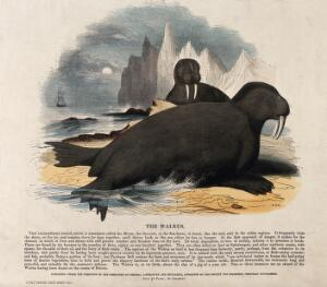 view Two walrusses lying on a shore in a polar landscape. Coloured wood engraving by J. W. Whimper.