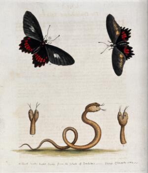 view Above, two butterflies; below, a small double-headed snake from Barbabos. Coloured etching by G. Edwards after himself.