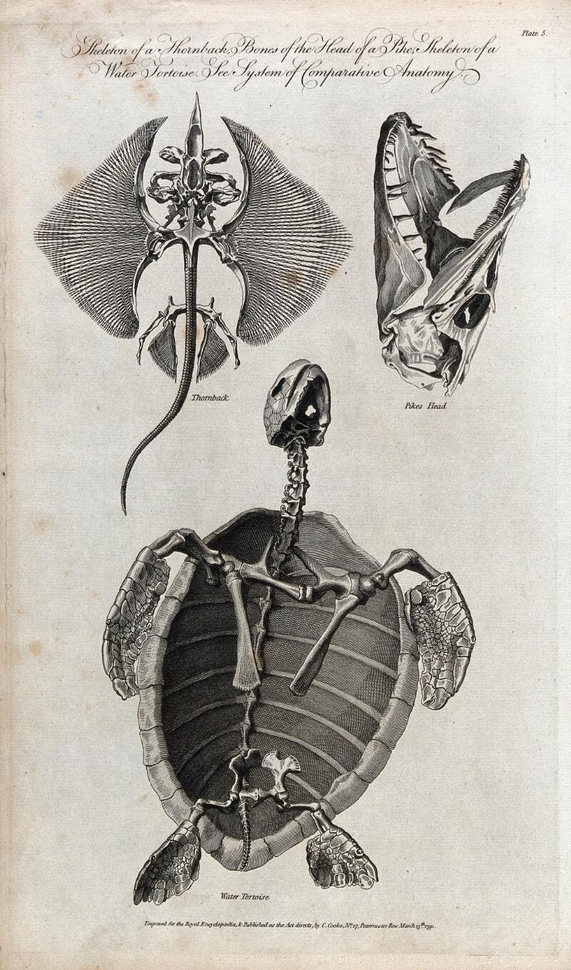 The Skeletons Of A Ray Thornback Bones Of The Head Of A Pike And