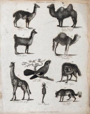 view Above, two camels, a llama and and a dromedary; below, a giraffe, a goatsucker (nightjar), a hyena, a crab (cancer) and an arctiv fox. Etching by Heath.