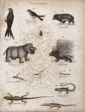 view Above, a swift, a swallow, a hyrax, an insect, a hippopotamus and a porcupine; belo, two insect and a caterpillar and three reptiles, including a crocodile. Engraving by Heath.