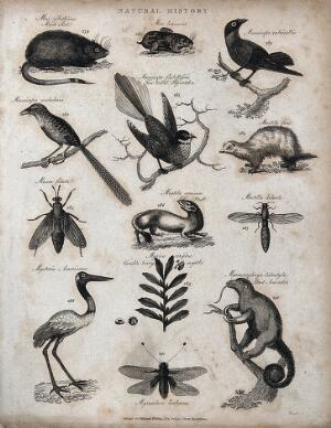 view Above, a musk rat, a lemming, three birds and a weasel (mustela); below, three insects, a stoat, a bird, a sprig and fruits of myrtle, and an ant eater on a tree trunk. Engraving by Heath.