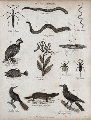 view Above, an insect, three gastropod molluscs, a guinea hen and a prickly ophidian; below, an ostracean, a tobacco plant, two insects, two orioles, and an ornithoryncus. Engraving by Heath.
