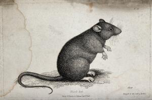 view A black rat sitting upright on the ground. Etching by W. S. Howitt.