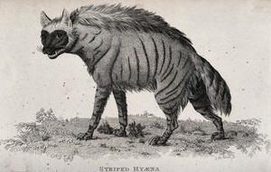 view A striped hyena. Etching by J. Le Keux.