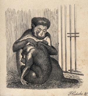 view One ape removing lice from the fur of another ape. Reproduction of an etching by F. Lüdecke.