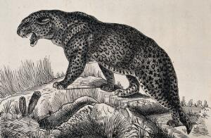 view A hissing leopard walking up a mound. Reproduction of an etching by F. Lüdecke.