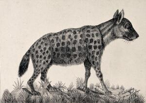 view A spotted hyena standing on a mound with its right front paw on a bone. Reproduction of an etching by F. Lüdecke.
