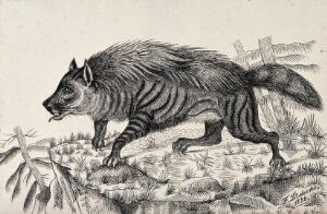 view A striped hyena standing on a mountain crag. Reproduction of an etching by F. Lüdecke.