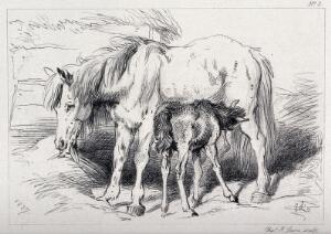 view A foal feeding on a mare. Etching by C. Lewis after E. H. Landseer.