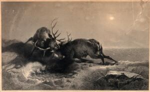 view A nocturnal battle between two stags. Steel engraving by G. Zobel after E. H. Landseer.