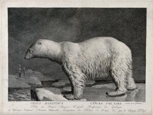 view A polar bear standing on an ice floe in the Arctic sea. Etching by S. C. Miger, ca. 1808, after N. Maréchal.