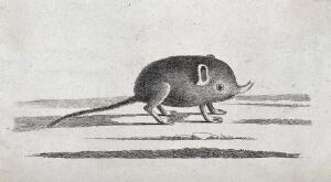 view An elephant shrew with a small proboscis. Etching.