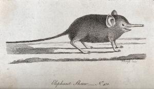 view An elephant shrew with a long proboscis. Etching by P. Mazell.