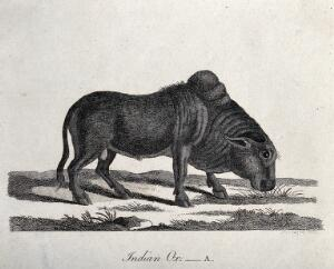 view An Indian ox grazing. Etching by P. Mazell.