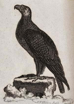 view A golden eagle sitting on a stump of a tree. Etching by T. Owen.