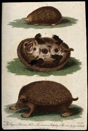 view Above, a Cape or Siberian mole; middle, a hedgehog lying on its back; below, a common hedgehog. Coloured etching by J. Pass after H. Meyer.