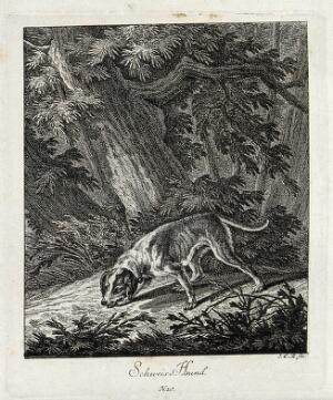 view A bloodhound sniffing a trail in the forest. Etching by J. E. Ridinger.