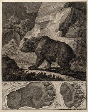 view Above, a bear in a rocky landscape, below, its footprints. Etching by J.E. Ridinger.