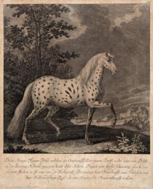 view A horse with an abnormally coloured coat standing in a paddock with other horses in the background. Etching by J. E. Ridinger after D. Sauerkern.