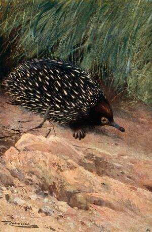 view A spiny anteater (spiny echnidae). Colour lithograph after W. Kuhnert.