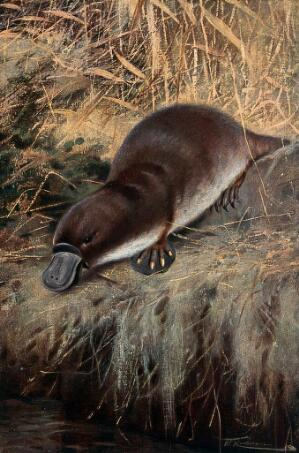 view A duck billed platypus (watermole). Colour lithograph after W. Kuhnert.