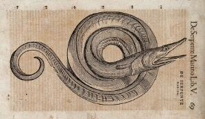 view A serpent. Woodcut after C. Gessner.