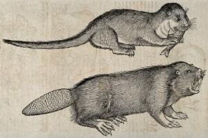 view Above, an otter eating a fish; below, a beaver. Woodcut after C. Gessner.