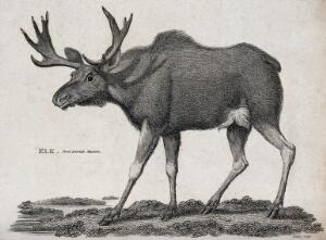 view An elk. Etching by Heath.