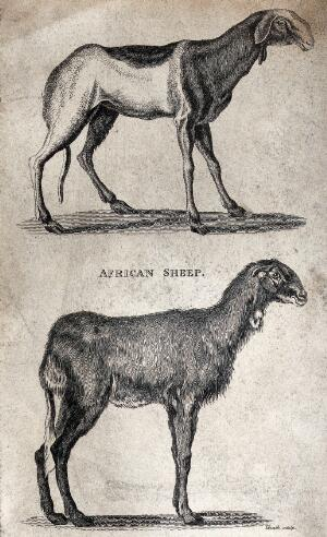 view Two African sheep. Etching by Heath.
